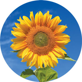Sunflower-Button